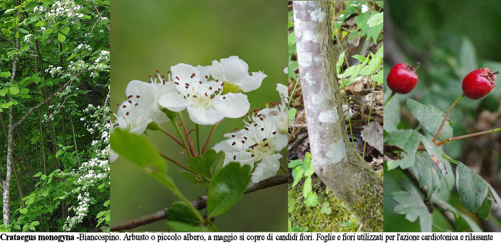 Gli arbusti for Sempreverde con fiori bianchi e profumati